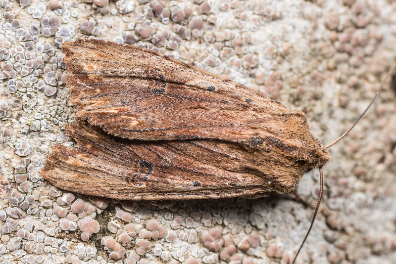 Dart moth (Graphania rubescens). Deep Stream, Otago.