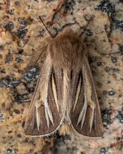 Noctuid moth (Ichneutica ceraunias). Mount Somers, Canterbury.