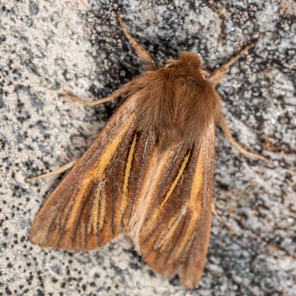 Noctuid moth (Ichneutica ceraunias). Mataketake Range tops, Westland.