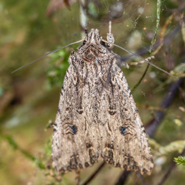 Noctuid moth (Ichneutica lignana). Patea Loop Track, Taranaki.