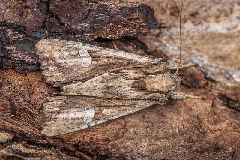 New Zealand cutworm (Ichneutica mutans). New Renwick Rd, Blenheim.