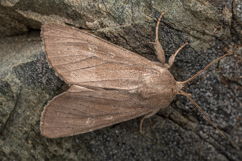 Speargrass moth (Ichneutica nullifera). Mount Turnbull, Thomson Mountains.
