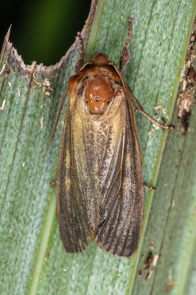Noctuid moth (Ichneutica purdii). Patea Loop Track, Taranaki.
