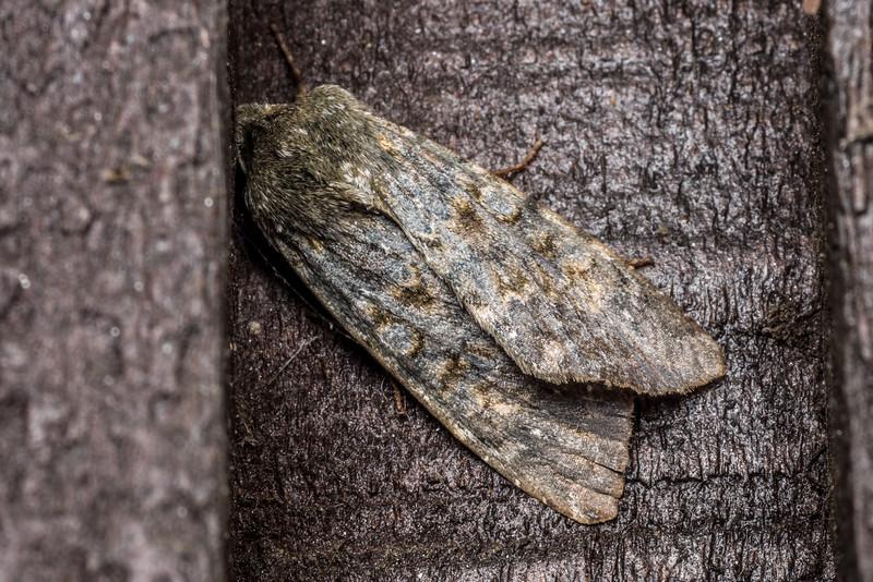 Noctuid moth (Ichneutica virescens). OBHS Lodge, Matukituki River West Branch.