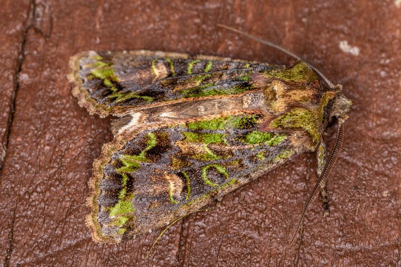 Noctuid moth (Ichneutica insignis / plena). Lake Alabaster, Fiordland National Park.