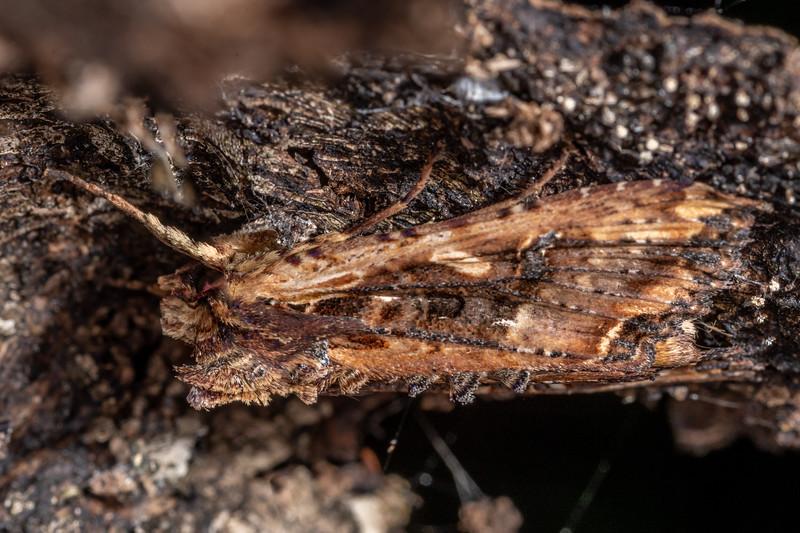 Noctuid moth (Meterana stipata). Sullivans Dam, Dunedin.
