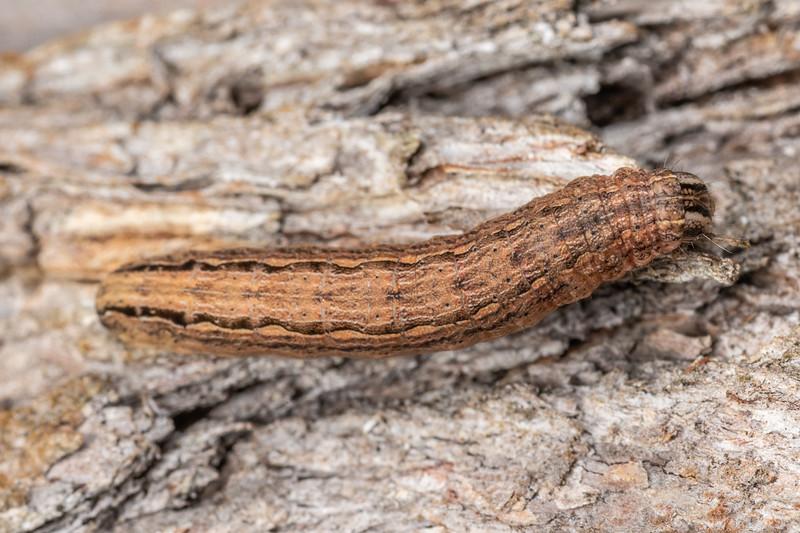 Noctuid moth (Family Noctuidae) caterpillar. Hinau Track, Kaikōura.
