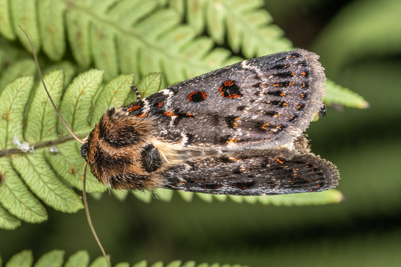 Noctuid moth (Proteuxoa sanguinipuncta). Te Horo Tunnel, Whitecliffs Walkway, Taranaki.