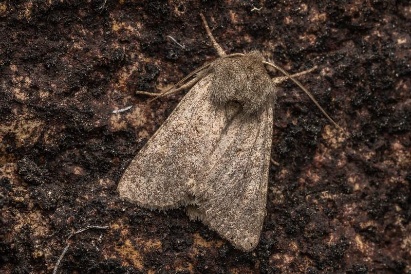 Noctuid moth (Family Noctuidae). Mount Somers, Canterbury.