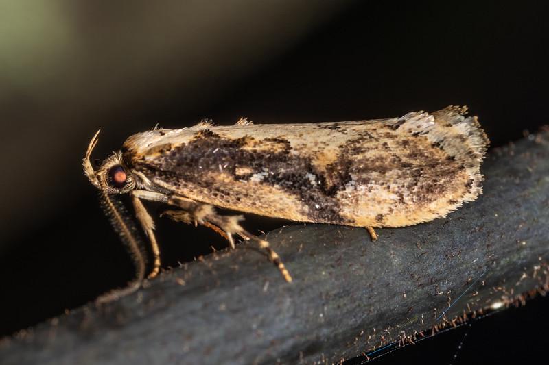 Concealer moth (Atomotricha isogama). Te Whare Okioki, Kaimai Range, Waikato.