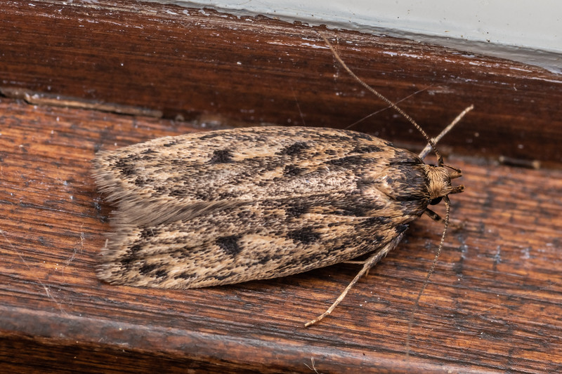 Brown house moth (Hofmannophila pseudospretella). Opoho, Dunedin.