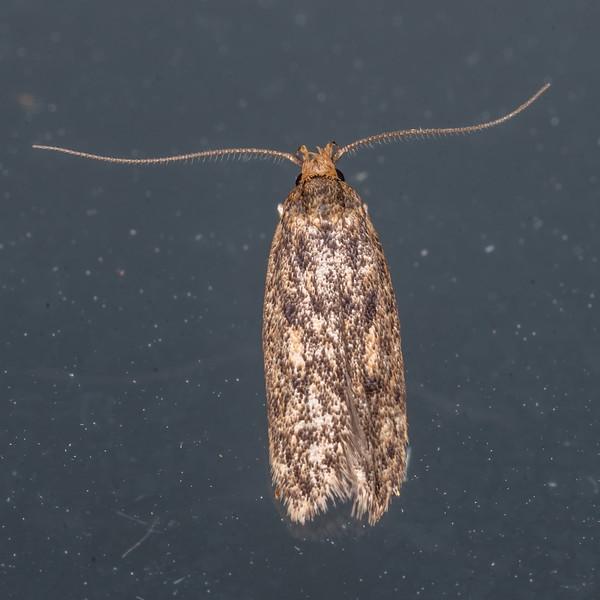 Brown house moth (Hofmannophila pseudospretella). Spreydon, Christchurch.