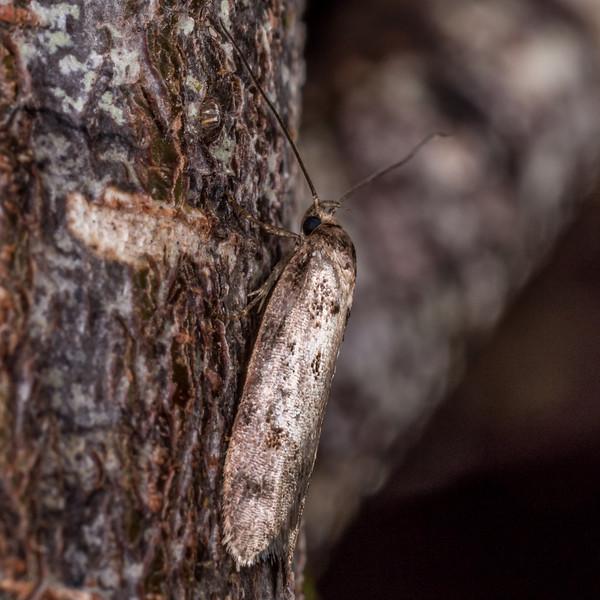A concealer moth of the genus Leptocroca. Gouland Downs, Heaphy Track, Kahurangi National Park.