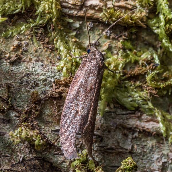 Concealer moth (Leptocroca spp.). Thisbe Hut, Catlins Forest.