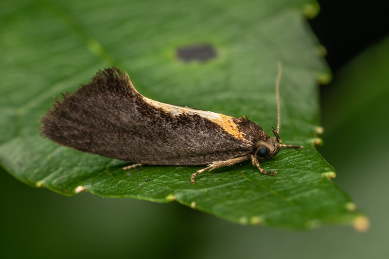 Concealer moth (Tingena basella). The Pinnacles, Coromandel