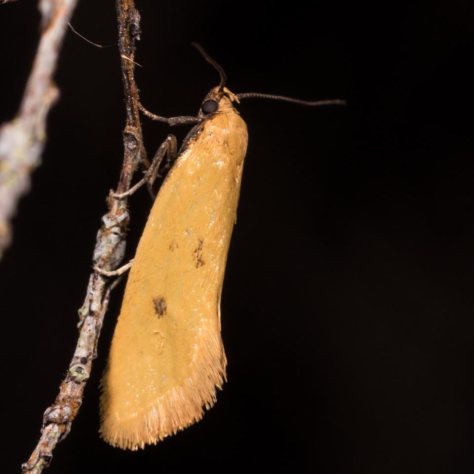 Tingena grata, a concealer moth (Faimly Oecophoridae). Gouland Downs, Heaphy Track, Kahurangi National Park.