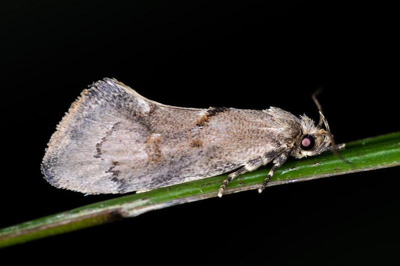 Concealer moth (Tingena spp.). Truman Track, Punakaiki, Westland