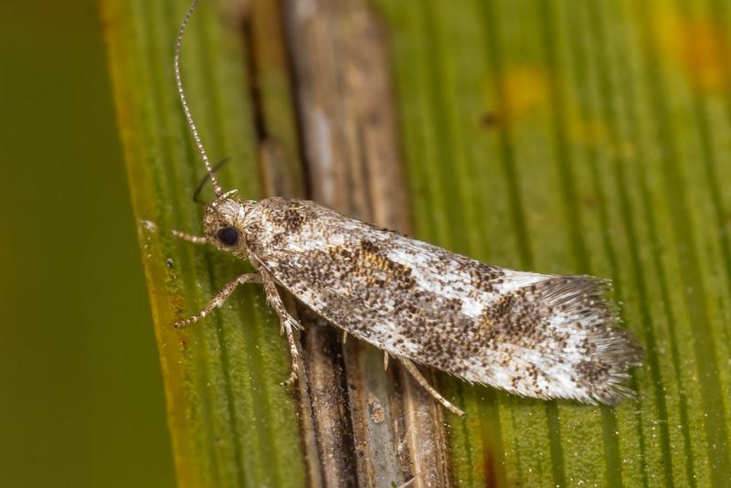 Concealer moth (Tingena spp.). Sinclair Wetlands, Dunedin.