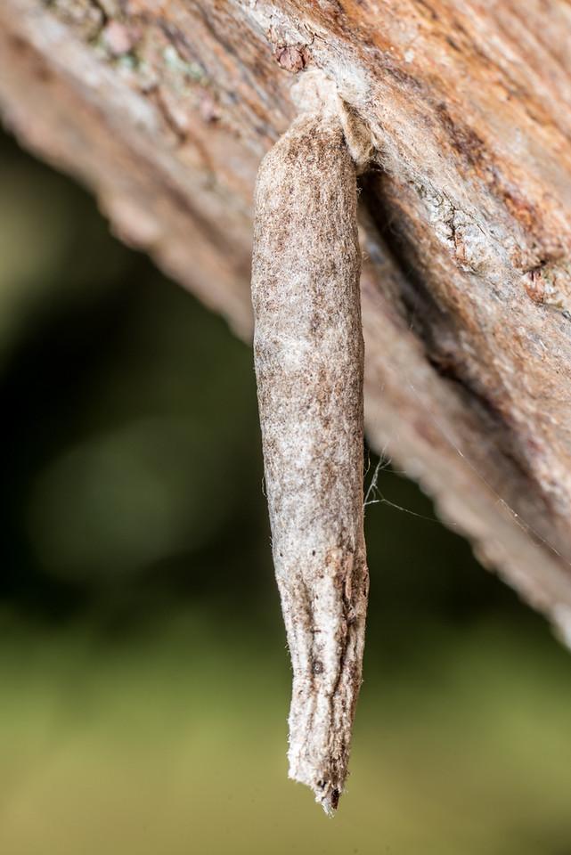 Common bagworm moth (Liothula omnivora). Deep Stream, Otago.