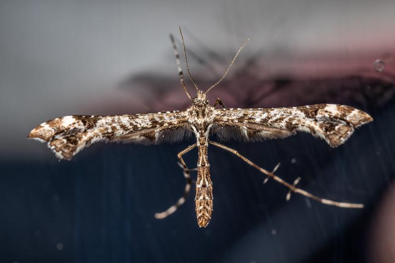 Geranium plume moth (Amblyptilia pica). Patricks Point, Humboldt County, California.