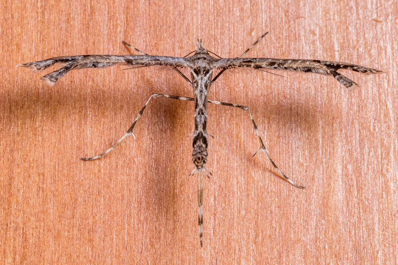 Plume moth (Amblyptilia repletalis). OBHS Lodge, Matukituki River West Branch.