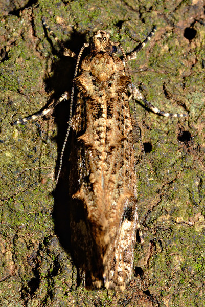 Lysiphragma epixyla, a fungus moth. Opoho, Dunedin.