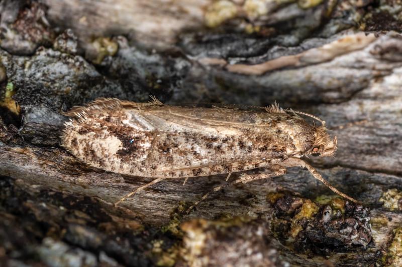 Fungus moth (Lysiphragma epixyla). Lady Bay, Long Sound, Fiordland National Park.