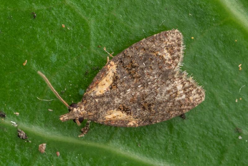 Leafroller moth (Capua intractana). Driving Creek Ecosanctuary, Coromandel.