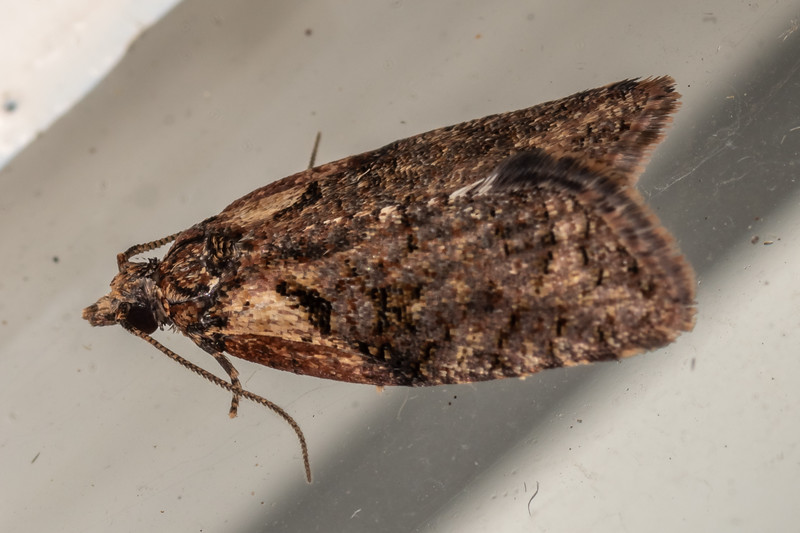 Leafroller moth (Capua intractana). Opoho, Dunedin.