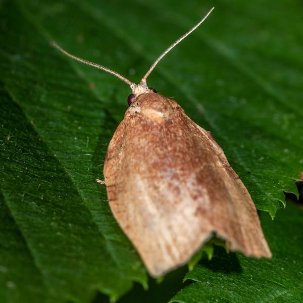 Leafroller moth (Choristoneura spp.). Wild River State Park, MN, USA.