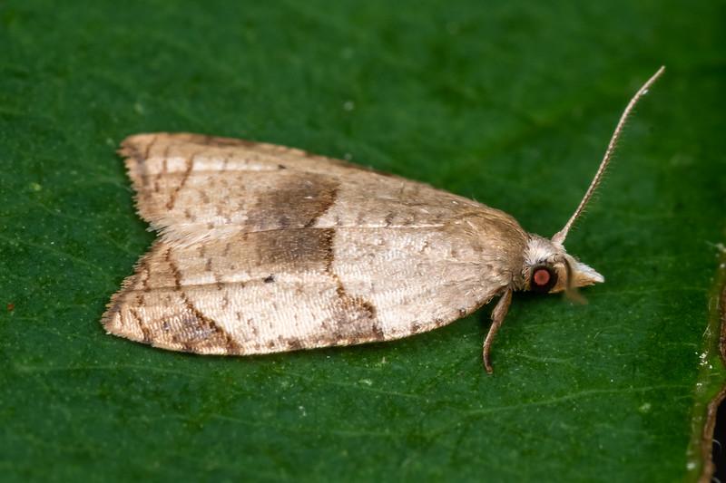 Batman moth (Coelostathma discopunctana). <br /> Wild River State Park, MN, USA.