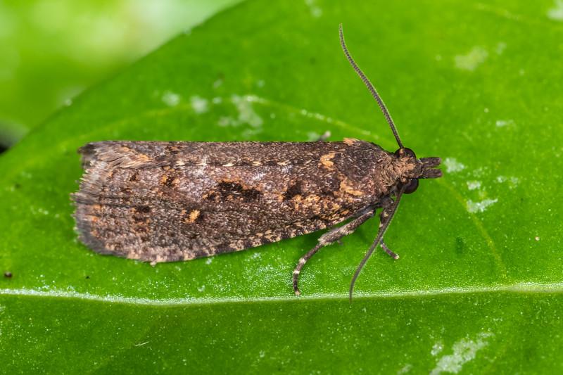 Leafroller moth (Cryptaspasma querula). Nikau Creek, Wainuiomata, Wellington.