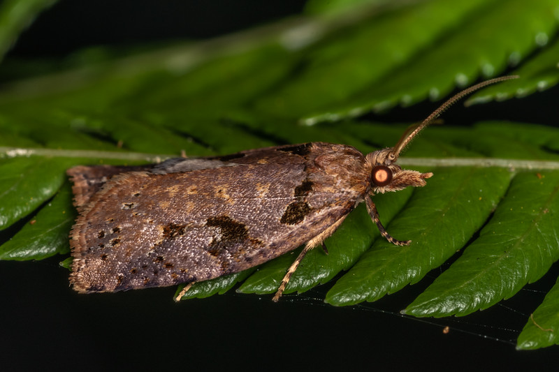 Leafroller moth (Ctenopseustis fraterna). Nydia Lodge, Nydia Bay, Marlborough Sounds.