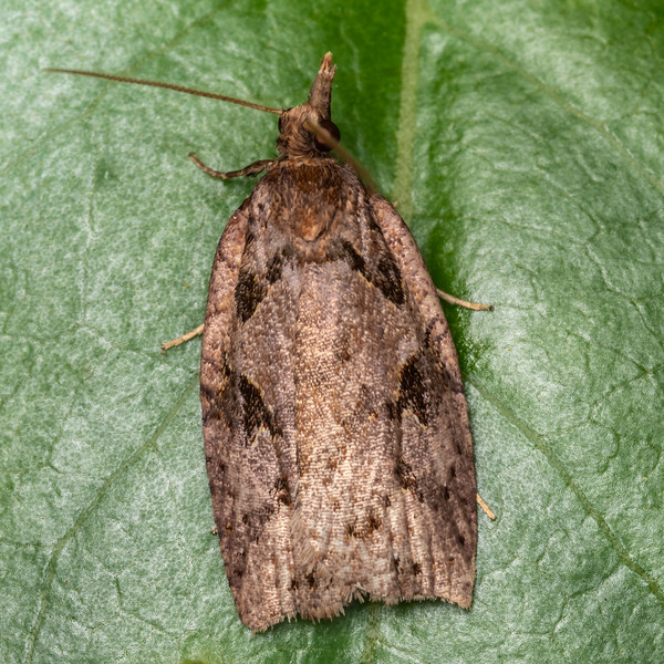 Leafroller moth (Ctenopseustis fraterna). Kauri Loop Walk, Hakarimata Range.