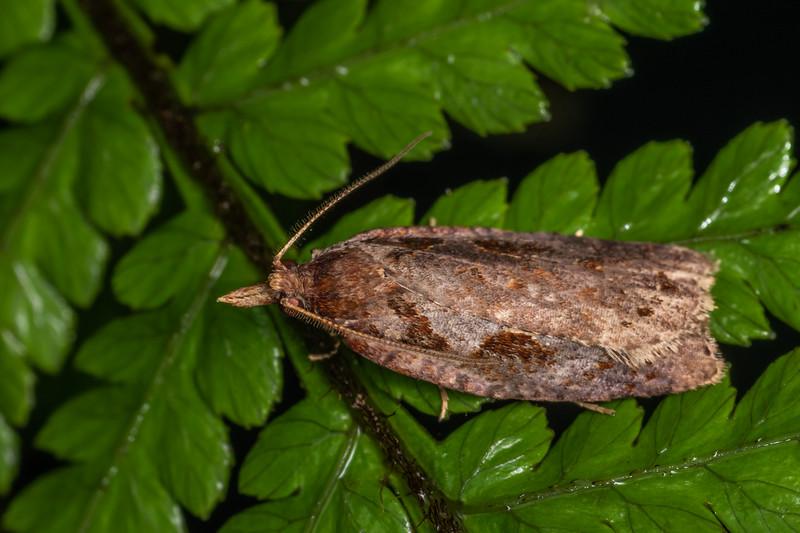 Leafroller moth (Ctenopseustis fraterna). Blue Lake, Rotorua.