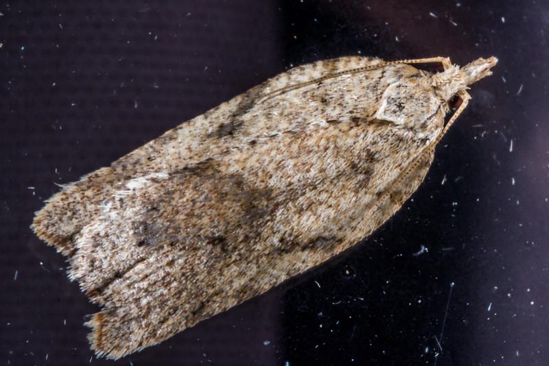 Brownheaded leafroller (Ctenopseustis obliquana). Opoho, Dunedin.