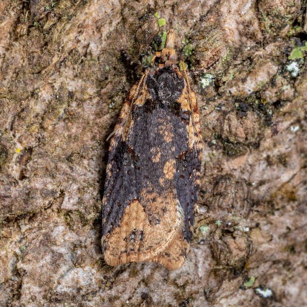 Leafroller moth (Ctenopseustis obliquana). Sullivans Dam, Dunedin.