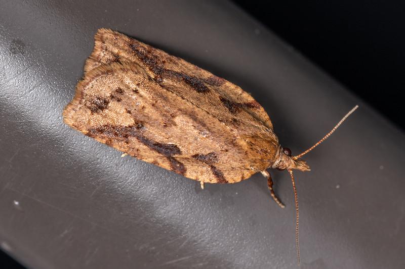 Leafroller moth (Ctenopseustis spp.). Te Whare Okioki, Kaimai Range, Waikato.