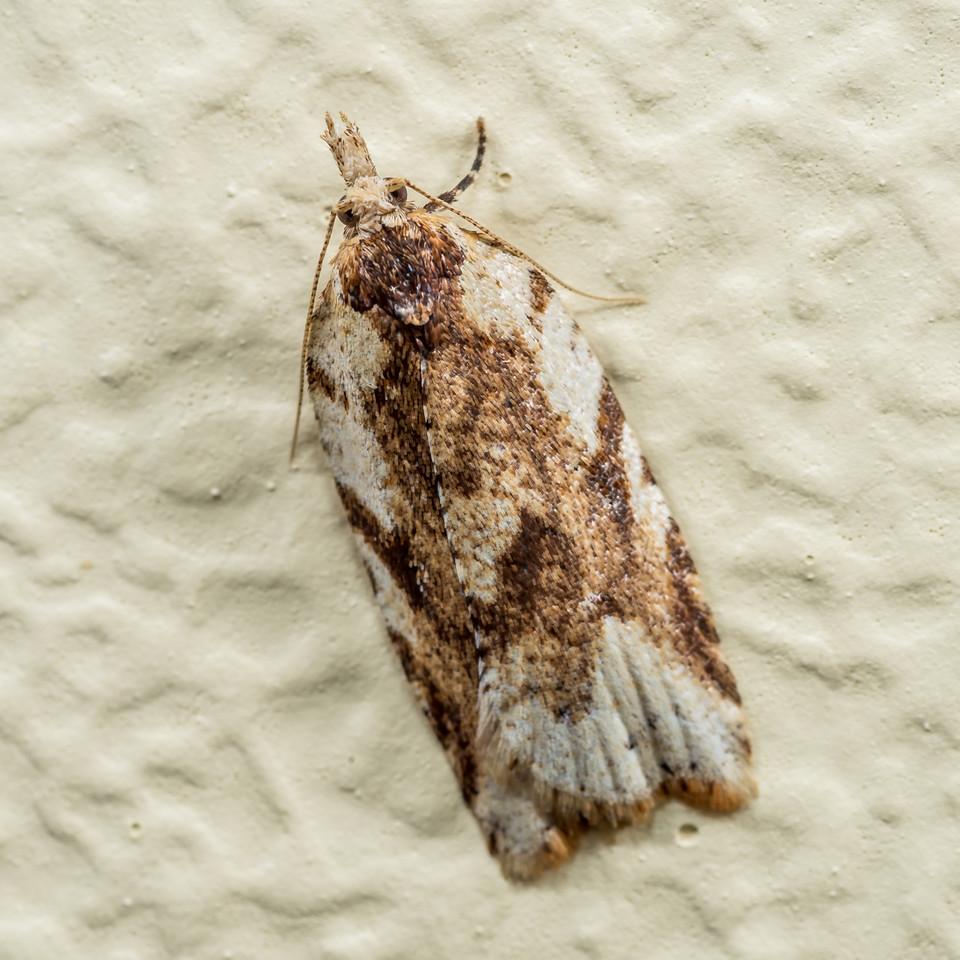 Leafroller moth (Tortricidae). Opoho, Dunedin.