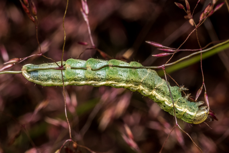 Caterpillar. Junction Flat, Matukituki River East Branch, Mount Aspiring National Park.