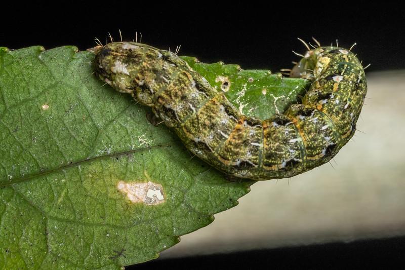 Caterpillar. Danseys Reserve, Rotorua.