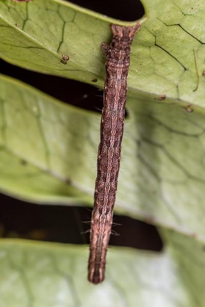 Caterpillar. Rangaika Scenic Reserve, Chatham Island.