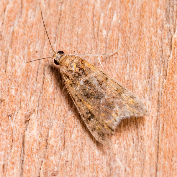Unidentified moth. Junction Flat, Matukituki River East Branch, Mount Aspiring National Park.