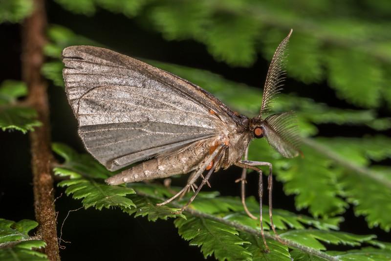Moth. Rangaika Scenic Reserve, Chatham Island.