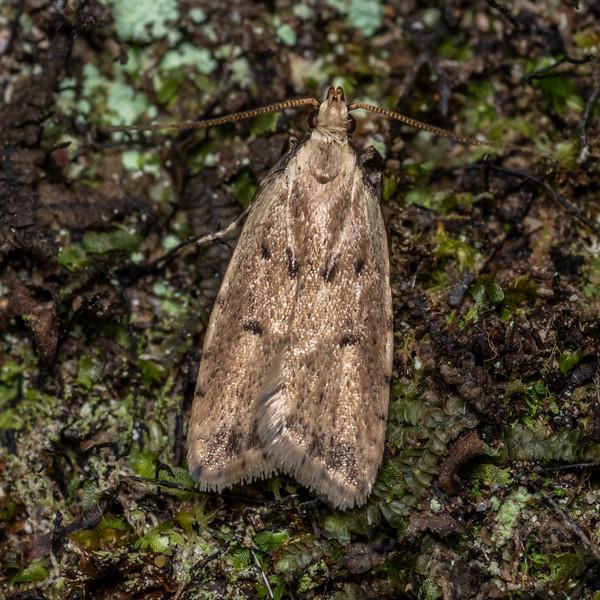 Timber moth (Gymnobathra calliploca). Puysegur Point, Fiordland National Park.