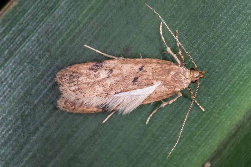 Timber moth (Gymnobathra levigata). Lake Alabaster, Fiordland National Park.