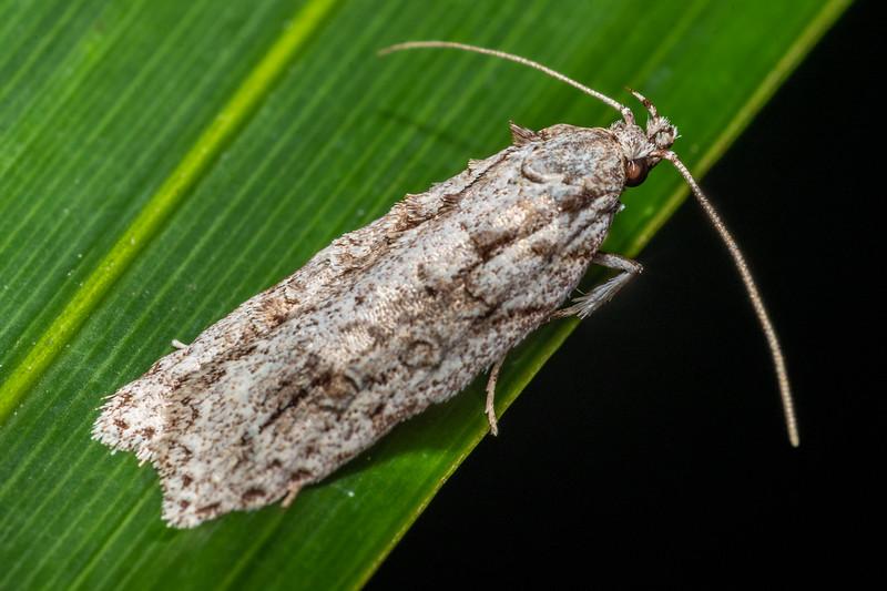 Lichen tuft moth (Izatha attactella). Peach Cove, Whangarei Heads, Northland.