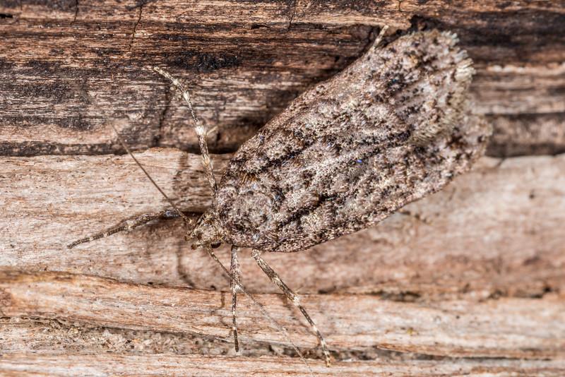 Lichen tuft moth (Izatha attactella). Awapoto Hut, Abel Tasman National Park.