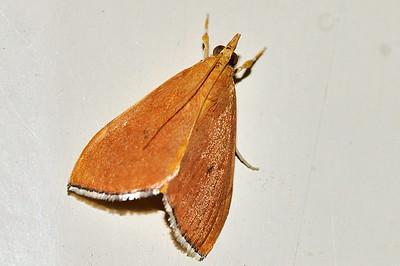 46 Unknown Moth. Mataranka Homestead, NT, Australia. April 2010