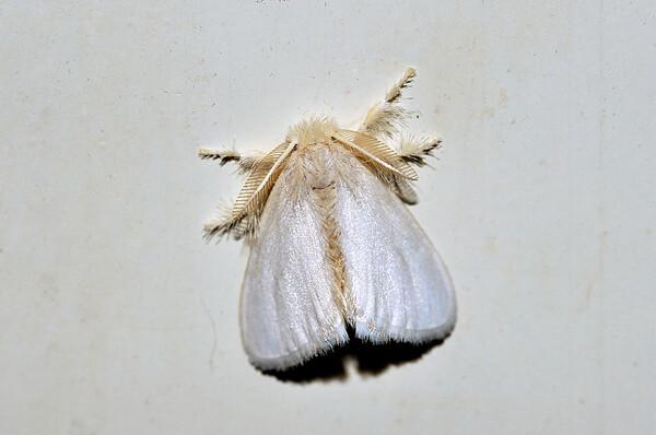 38 Unknown Moth. Mataranka Homestead, NT, Australia. April 2010